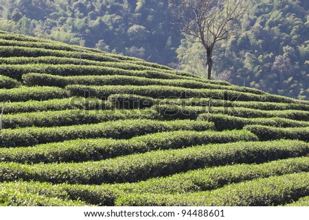 Tea garden on the hill - stock photo