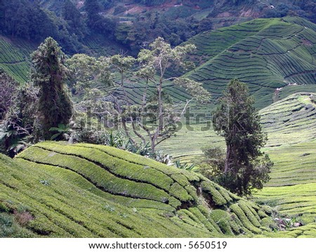 Tea hill in Cameron highland - stock photo