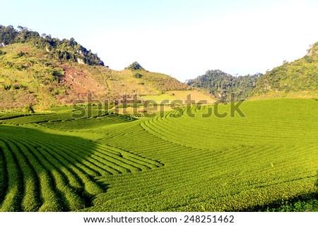 Tea hills in Moc Chau highland, Son La province in Vietnam. Beautiful fresh green tea plantation in Moc chau, Vietnam. - stock photo