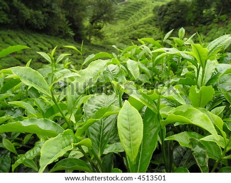 Tea leaf, against tea plantation - stock photo