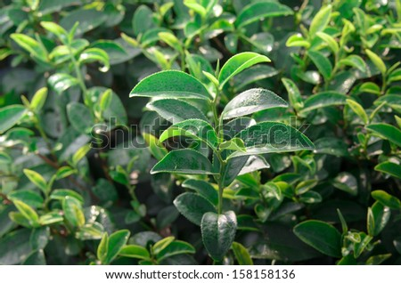 tea leaf in morning sunlight - stock photo