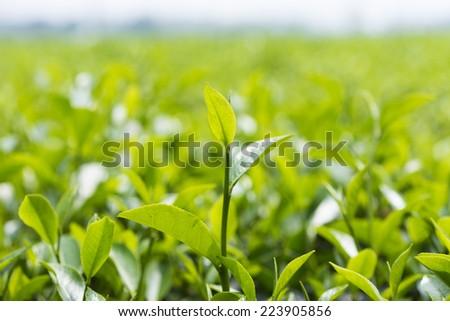 Tea leaf on field - stock photo
