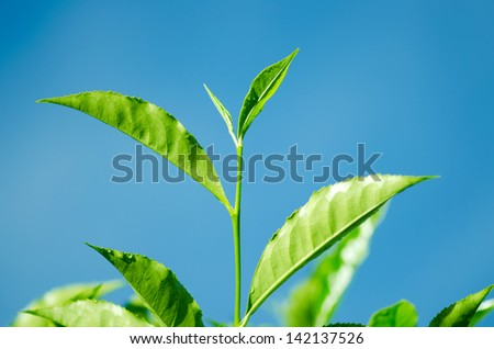 Tea Leaf with blue sky in the Background (Morning) - stock photo