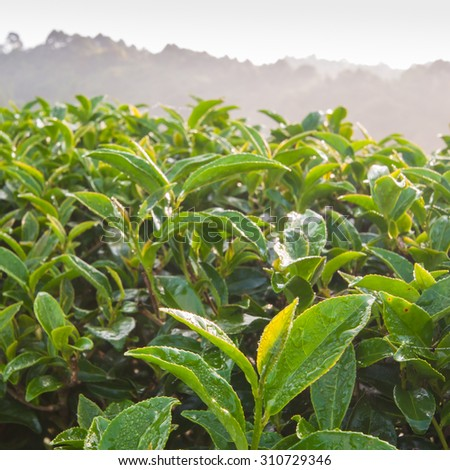 Tea leave in the field - stock photo