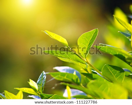 Tea leaves at a plantation in the beams of sunlight. - stock photo
