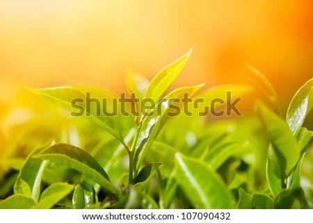 Tea leaves at tea plantation valley in Munnar, Kerala, India - stock photo