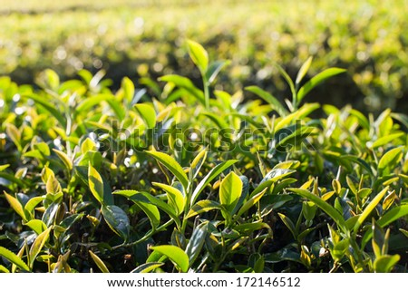 Tea leaves in morning sunlight - stock photo