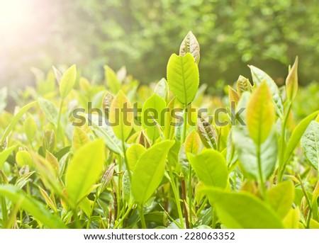 tea leaves in sunlight after rain on chinese mountain tea plantation - stock photo