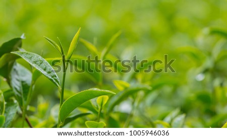 Tea leaves on a tea plantation in morning background and tea bud,  selective focus