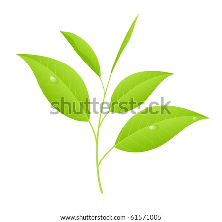 Tea leaves, sprout with young saplings. Vector illustration, isolated on a white.