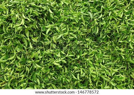 Tea leaves.Tea leaves collecting area in estate - stock photo