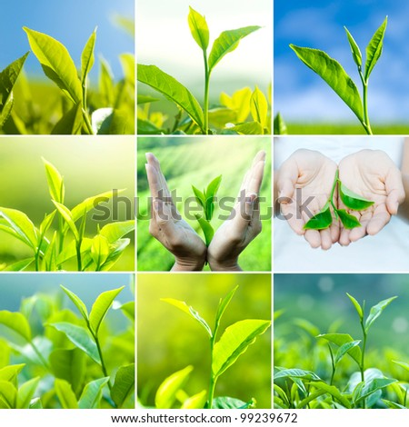 Tea leaves wallpaper background, all image belongs to me. - stock photo