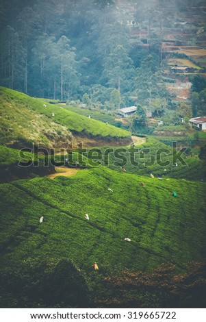 Tea pickers on green tea fields in SriLanka, Nuwara Eliya