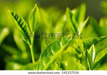 Tea plantation close up background after the rain. Fresh green tea leaf. - stock photo