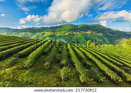 Tea Plantation in Chiangrai, Thailand