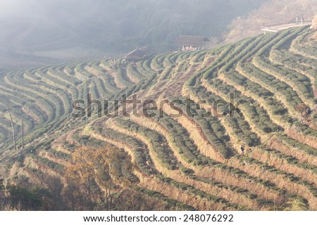 Tea plantation in mountain view,Doiangkhang  in Chiangmai,Thailand   - stock photo