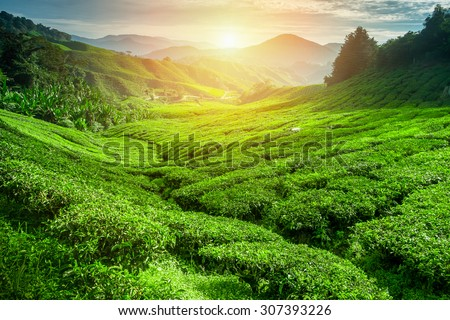 Tea plantation in sunset time. Nature background - stock photo