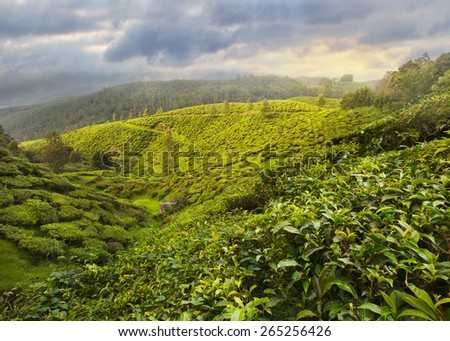 Tea Plantation in the highlands of Asia - stock photo