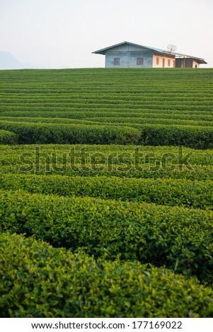 tea plantation in the mountaintop - stock photo