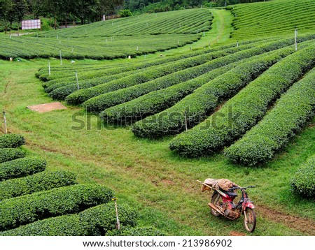 tea plantation in the northern of Thailand - stock photo