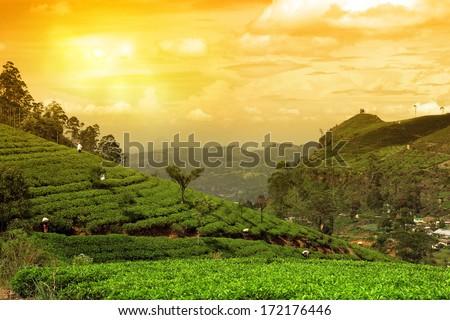 tea plantation landscape - stock photo