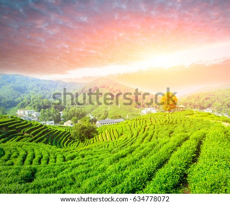 Tea plantation landscape at sunset
