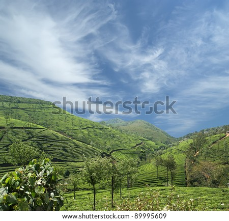tea plantation of Kerala, South India