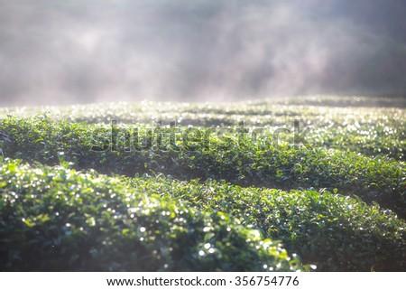Tea plantation on misty morning. - stock photo