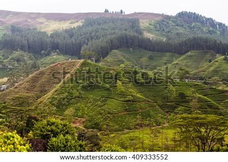 Tea plantation on the hillside - stock photo