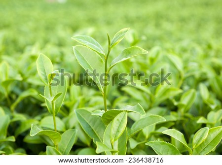 Tea plantation, thailand - stock photo