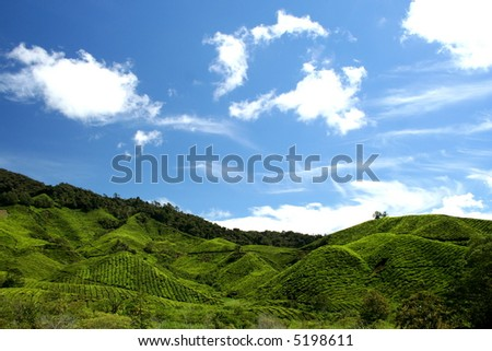 tea plantation under the blue sky in cameron highland - stock photo