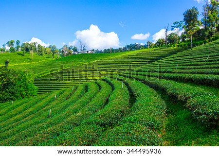 Tea plantation valley at Chiang Rai