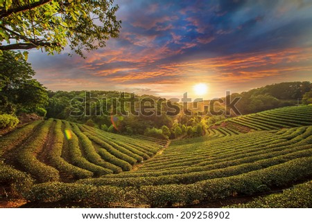 Tea plantation valley at dramatic pink sunset sky in Taiwan for adv or others purpose use