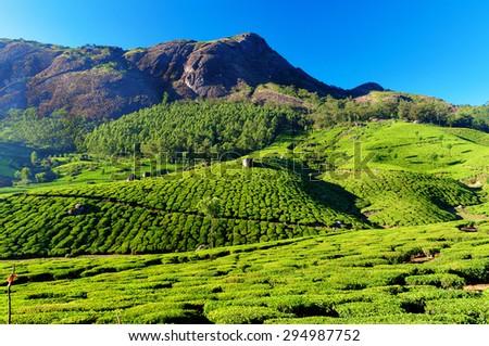 Tea plantation valley in Munnar. Kerala. India - stock photo