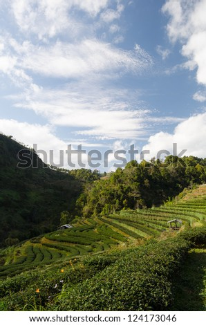 Tea plantation view from mountain with blue sky and clouds
