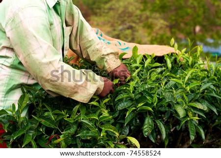 Tea plantation worker. Woman picking tea leaves in a tea plantation. - stock photo