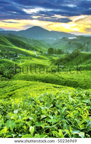 Tea Plantations at Cameron Highlands Malaysia. Sunrise in morning with fog. - stock photo