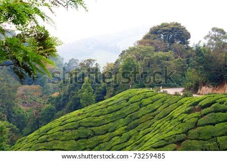 Tea Plantations at Munnar, India. - stock photo