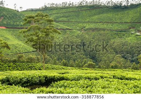 Tea plantations at munnar india on a cloudy day - stock photo
