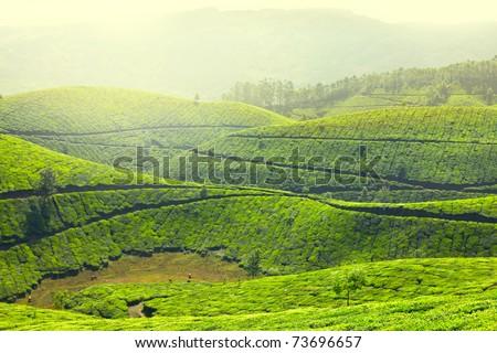 Tea plantations in morning fog landscape. Munnar, Kerala, India - stock photo