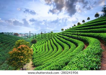 Tea Plantations under sky during sunset - stock photo