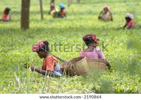 Tea Pluckers in Assam India - stock photo