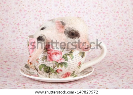 Teacup mini pocket pig sitting in oversize cup and saucer on lilac background - stock photo