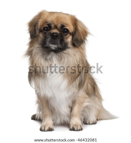 Teckel Spaniel, 3 Years Old, sitting in front of white background
