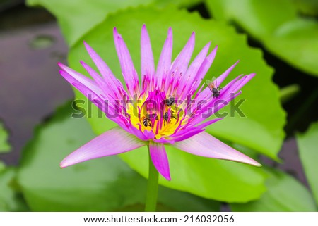 Ted Uber Lotus, Red India Water Lily, Lotus flower represents one symbol of fortune in Buddhism It grows in muddy water. Thailand - stock photo