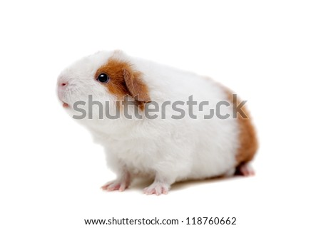 Teddy guinea pig, isolated on the white background - stock photo
