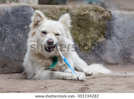 teeth cleaning dog with toothpaste  - stock photo