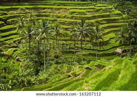 Tegallalang, Bali. Near the cultural village of Ubud is an area known as Tegallalang that boasts the most dramatic terraced rice fields in all of Bali.  - stock photo
