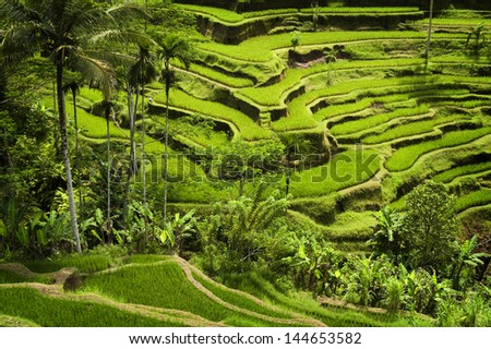 Tegallalang, Ubud, Bali. The most dramatic and spectacular rice terraces in Bali can be seen near the village of Tegallalang. - stock photo