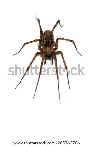 Tegenaria cf ferruginea funnel-web spider isolated on white. - stock photo